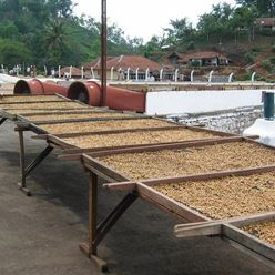 India-Kelagur-Heights-Speciale-Bulk-Robusta-P/Sundried---(30Kg)-(CM-IN-082)